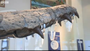 The Jaws of a Pliosaur