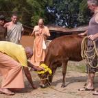 Devotees Perform Go-Puja