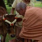 Srila Guru Maharaja feeding Ekadasi