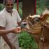 Feeding Ekadasi a laddu